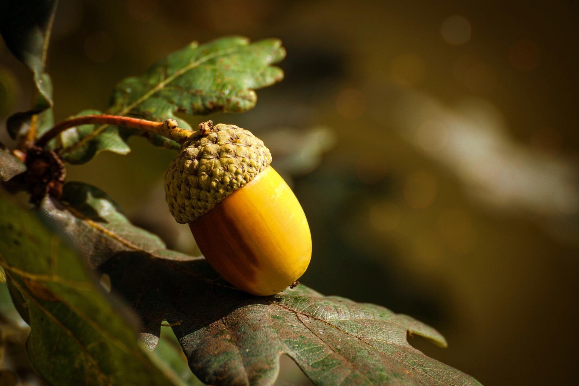 acorn-3700512_1920